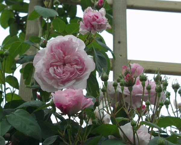 Rosa 'Fantin Latour' !!! Rosafa10