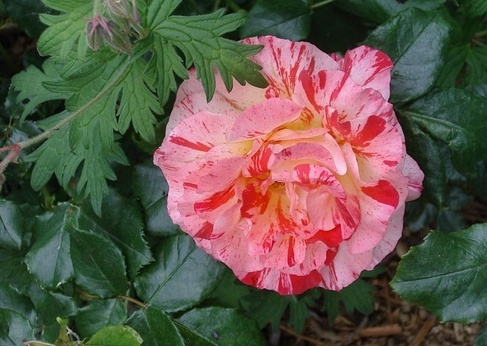 Rosa 'Alfred Sisley' Sans_t10