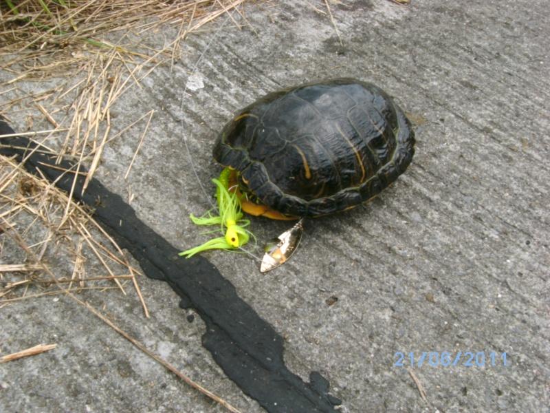 tortue au spinnerbait :) Bild0410