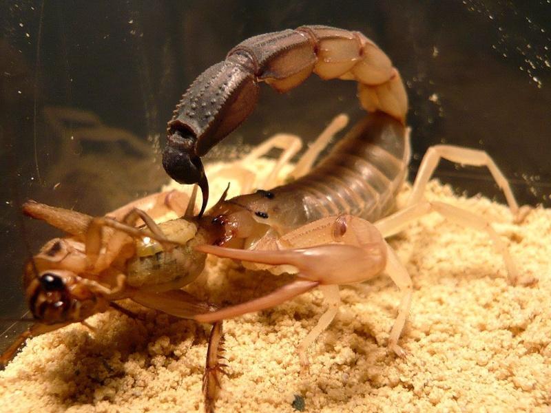 Escorpião (Androctonus) 0_1_an10