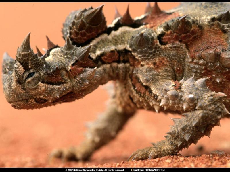 Diabo espinhoso (Moloch horridus) 11094010