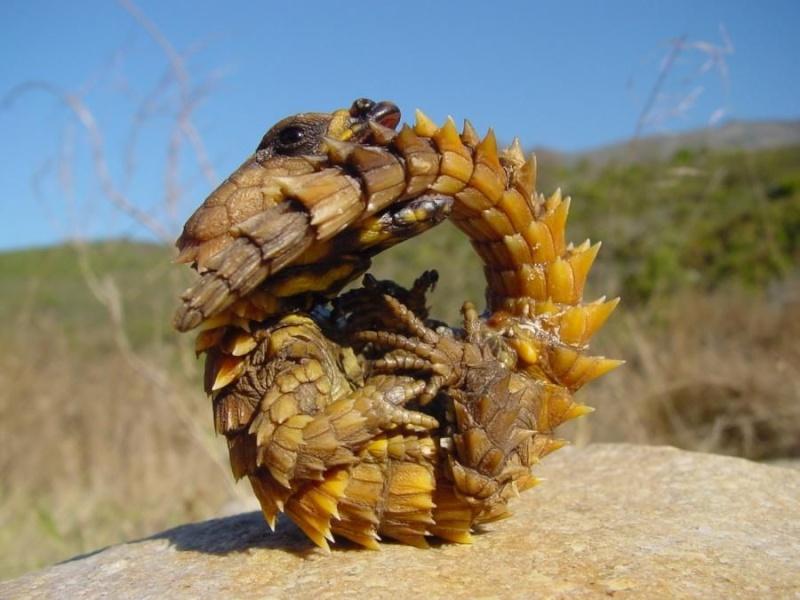 Lagarto tatu (Cordylus cataphractus) 12111011