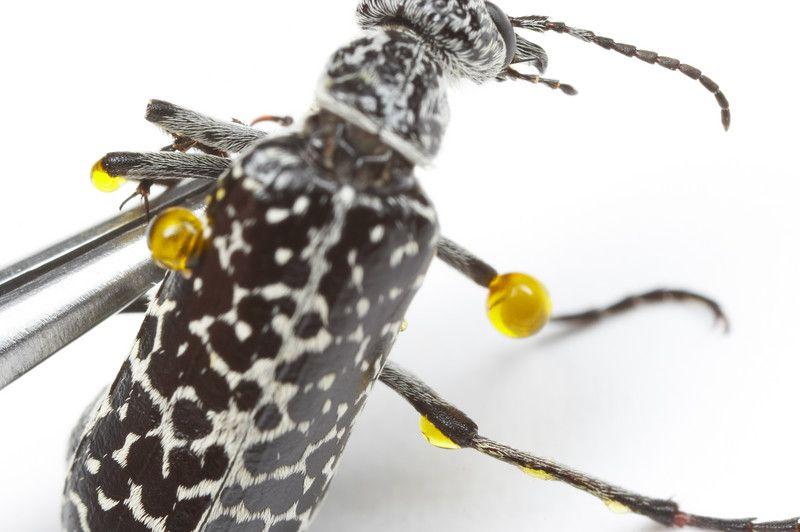 Besouro Venenoso (Lytta vesicatoria) 16521210