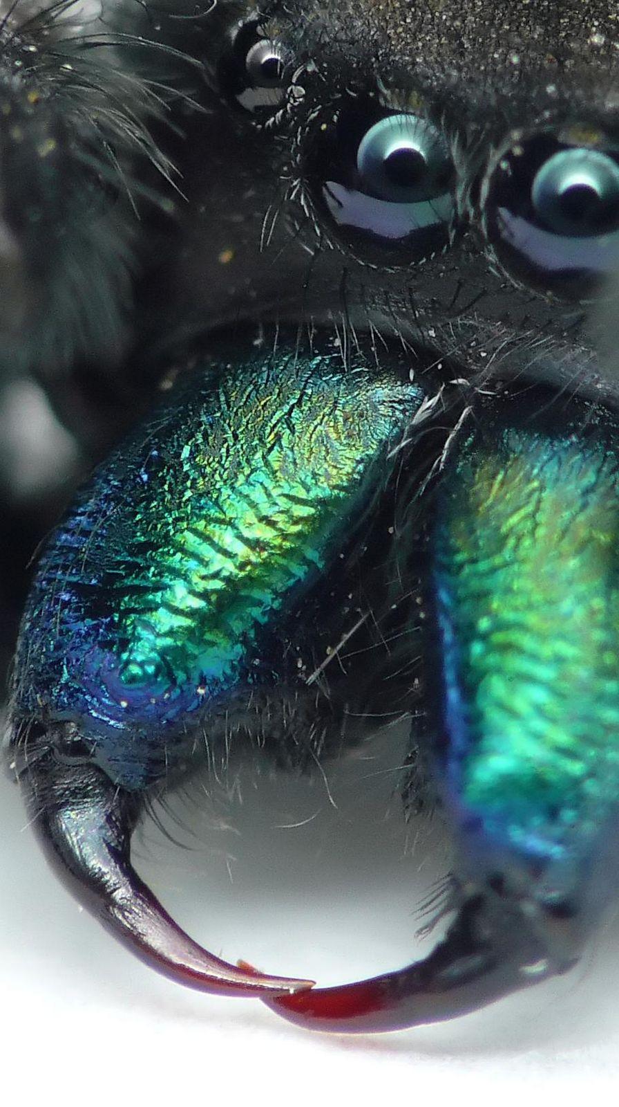 Aranha Saltadora (Phidippus audax) 36099811