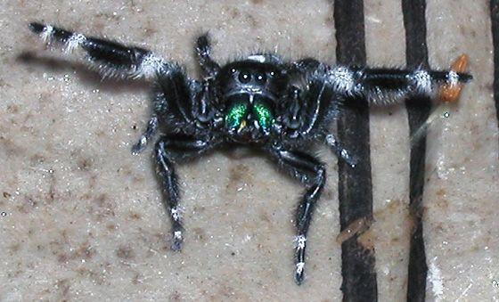 Aranha Saltadora (Phidippus audax) 4hvh7h10
