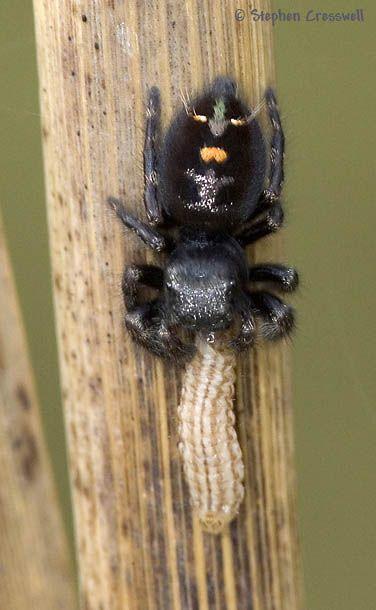 Aranha Saltadora (Phidippus audax) 583810