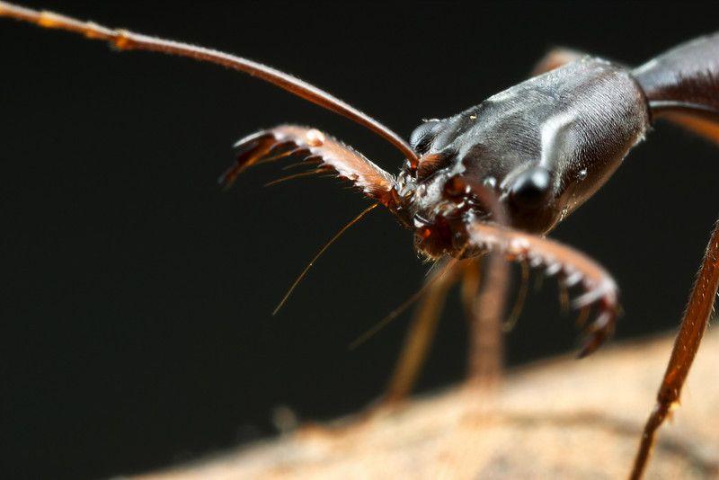 Formiga Mandíbula Saltadora (Odontomachus) 64138711