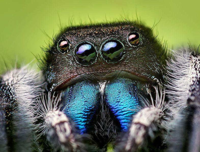Aranha Saltadora (Phidippus audax) 786px-10