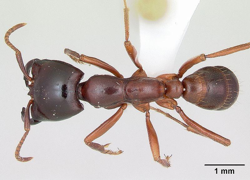 Formiga motorista (Dorylus) 800px-13