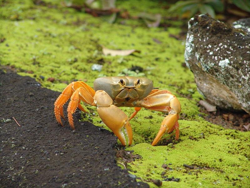 Caranguejo da terra (Johngarthia lagostoma) 800px-14