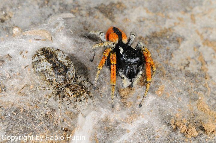 Aranha papa-moscas (Philaeus chrysops) _pup2110
