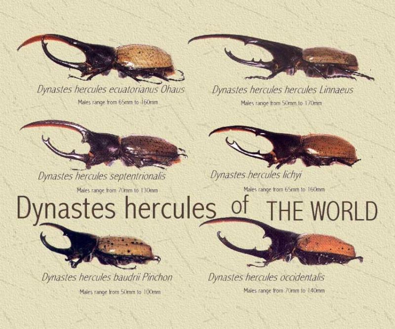 Besouro Hércules (Dynastes hercules) All20d10