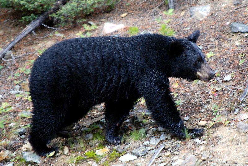 Leão de Tsavo VS Urso Preto Americano Bear10