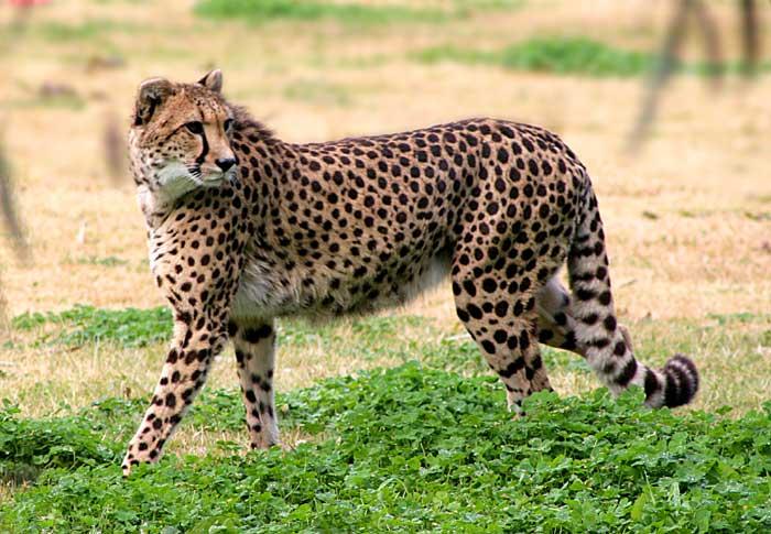 Guepardo VS Cabra Selvagem Markhor Cheeta10