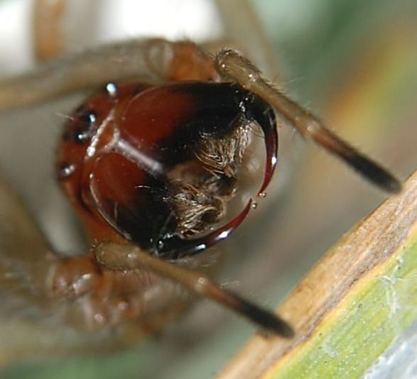 Aranha Amarela (Cheiracanthium) Cheira10