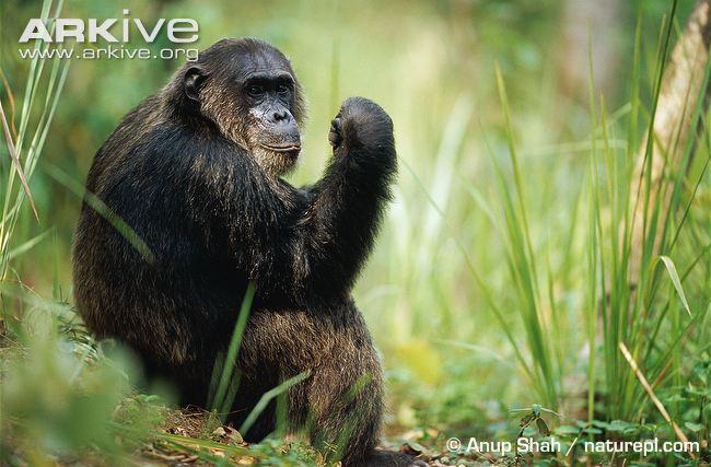 Chimpanzé VS Python Africana Chimpa10