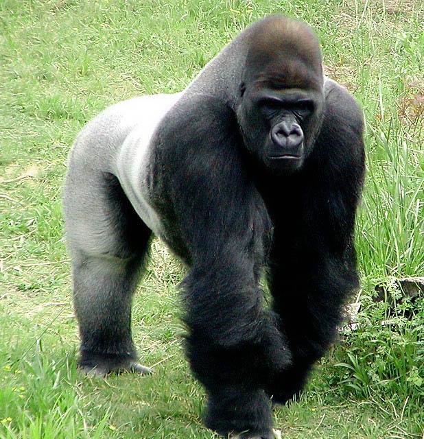 Gorila silverback VS Urso Preto Americano  Copyri10