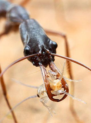Formiga Mandíbula Saltadora (Odontomachus) Coquer10