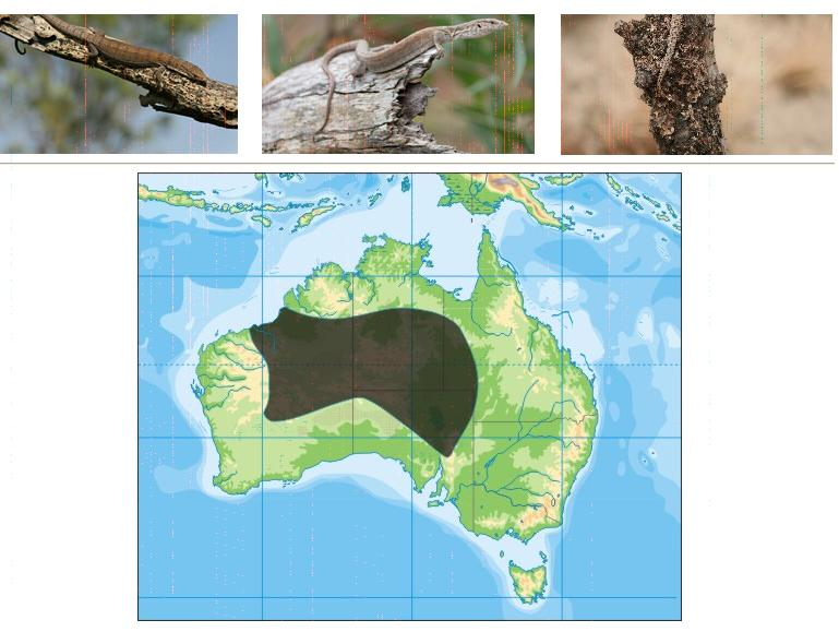 Monitor Pigmeu (Varanus gilleni) Distri10