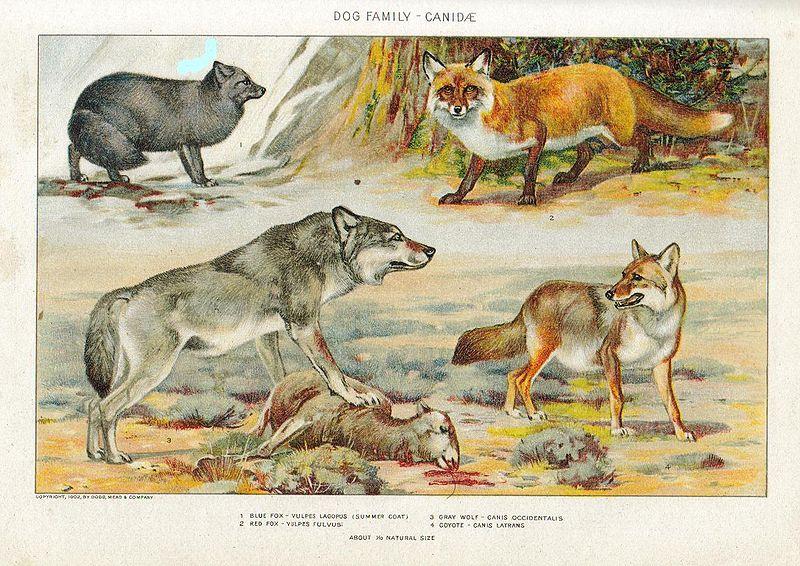 Vídeos de Canídeos Selvagens Dogs10