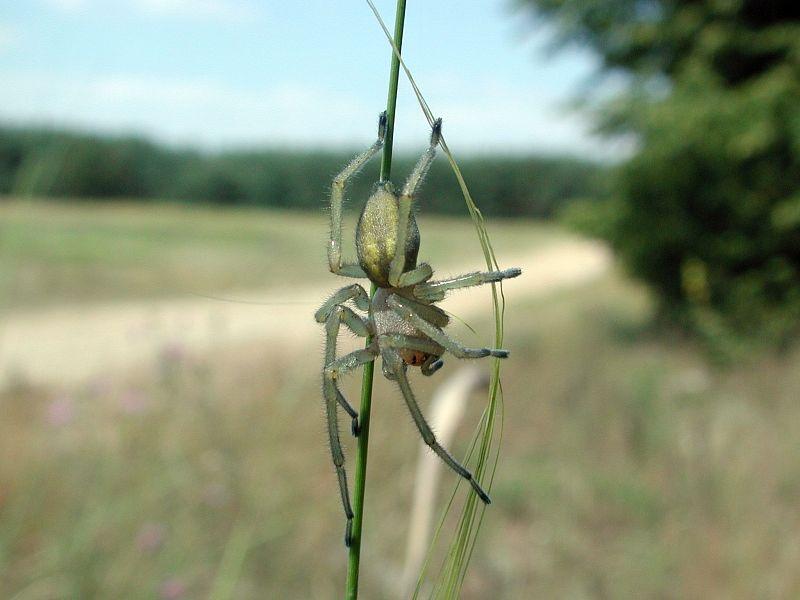 Aranha Amarela (Cheiracanthium) Dornfi10