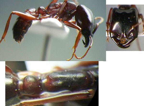Formiga motorista (Dorylus) Dorylu10