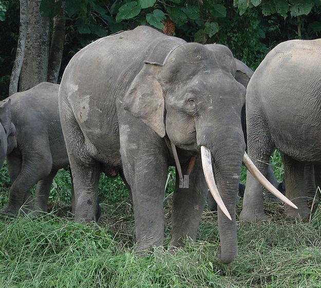 Rinoceronte Branco VS Elefante Pigmeu de Bornéu  Elefa10