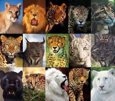 Vídeos de Felídeos Selvagens Felino10