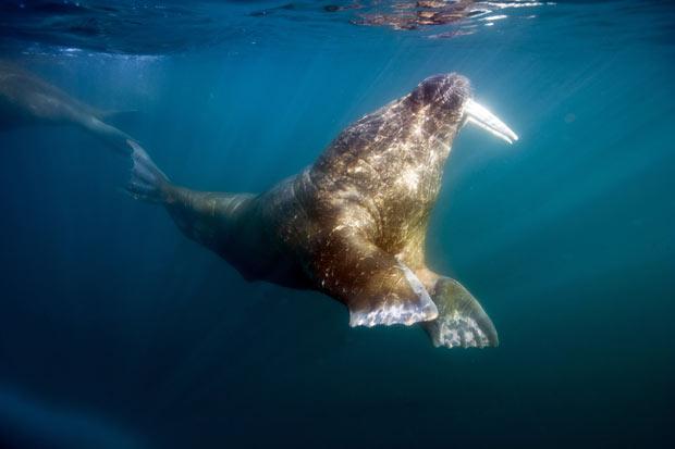 Morsa VS Tubarão da Groenlândia Gracef10