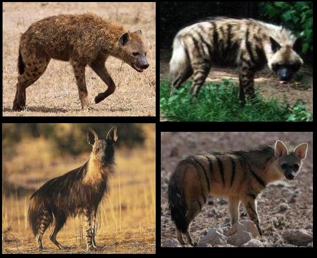Vídeos de Hienas (Hyaenidae) Hyaeni10