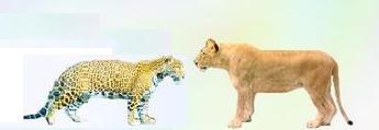 Jaguar Pantaneiro VS Leoa do Serengeti Imagem13