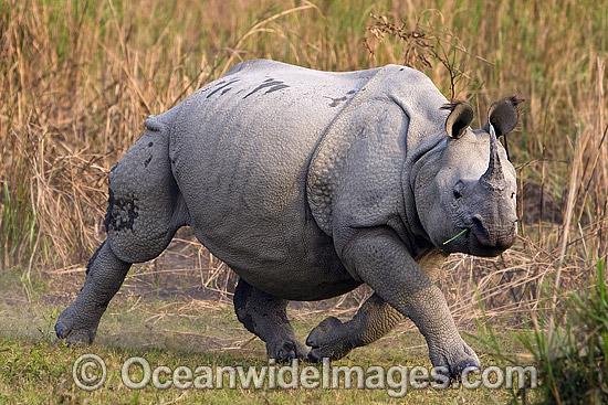 Hipopótamo VS Rinoceronte Indiano  Indian10