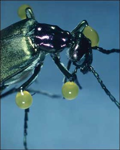 Besouro Venenoso (Lytta vesicatoria) Inseto10