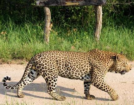 Cougar da America do Norte VS Leopardo Africano Leo10