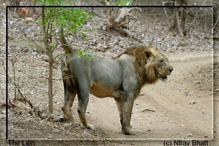 Leão Asiático VS Tigre Indochinês Lion10