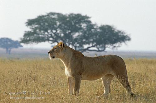 Jaguar Pantaneiro VS Leoa do Serengeti Liones10