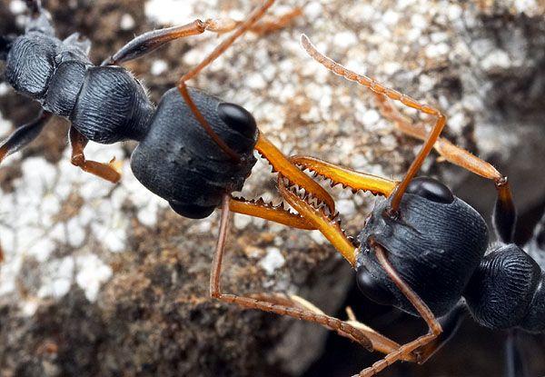 Formiga Macaco Saltadora (Myrmecia pilosula) Luta10