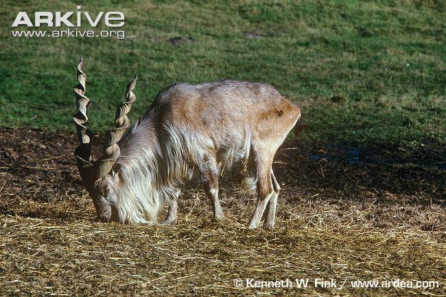 Guepardo VS Cabra Selvagem Markhor Male-s10