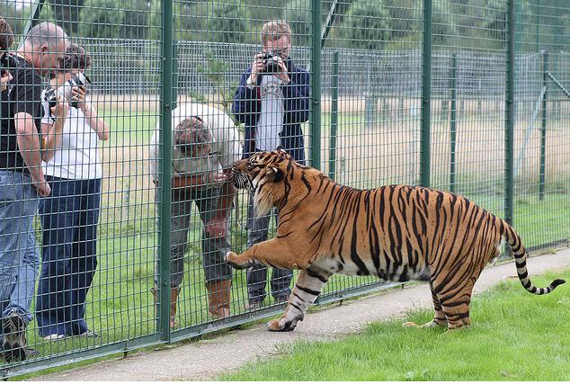 Jaguar monstro VS Tigre de Sumatra Male_s10