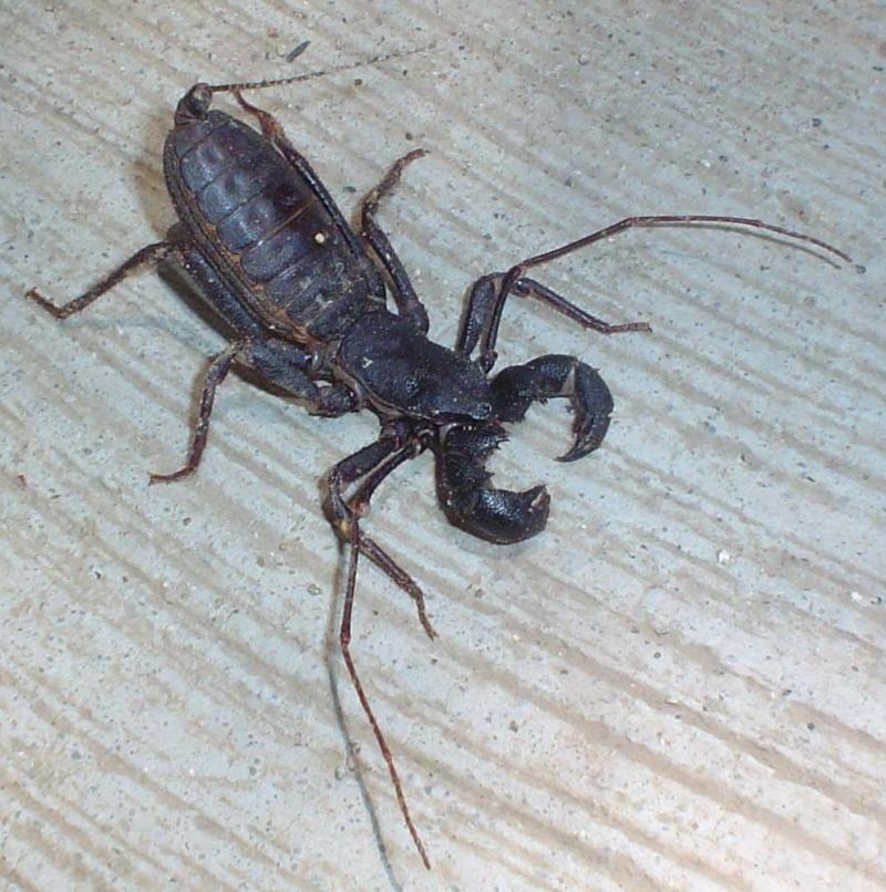 Escorpião Vinagre (Mastigoproctus) Mastig10