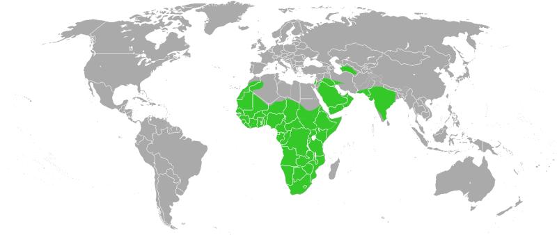 Ratel (Mellivora capensis) Melliv10