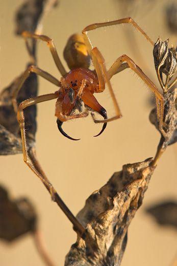 Aranha Amarela (Cheiracanthium) Mm11-d10