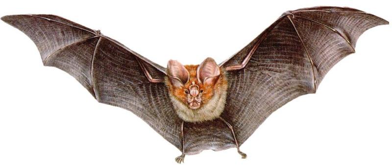 Vídeos de Morcegos Morceg10