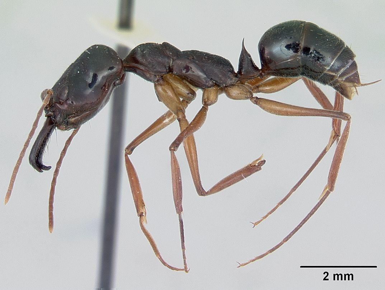 Formiga Mandíbula Saltadora (Odontomachus) Odonto12