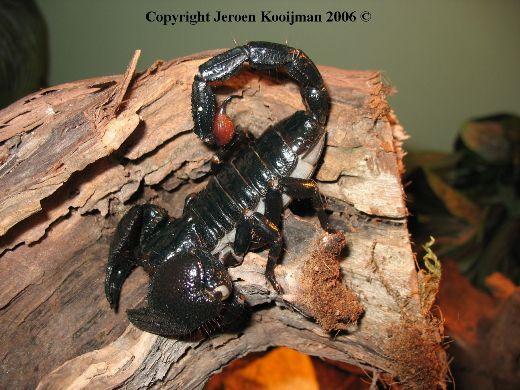 Escorpião Imperador (Pandinus imperator) P_impe10