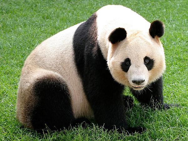 Panda Gigante VS Carneiro da Barbária Panda10