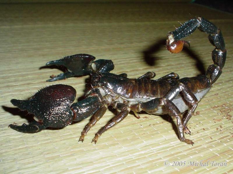 Escorpião Imperador (Pandinus imperator) Pandid10