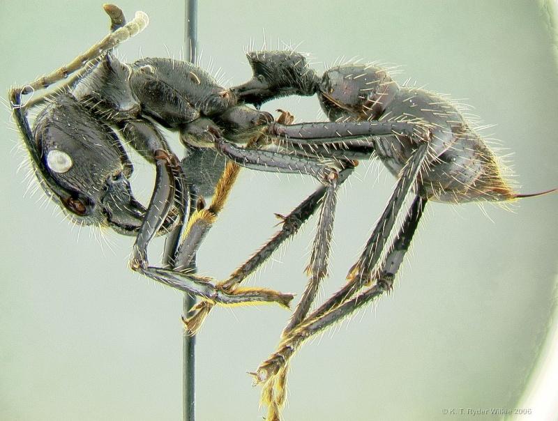 Tocandira (Paraponera clavata) Parapo10