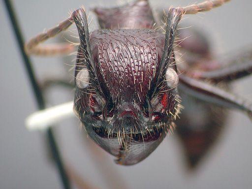 Tocandira (Paraponera clavata) Parapo11