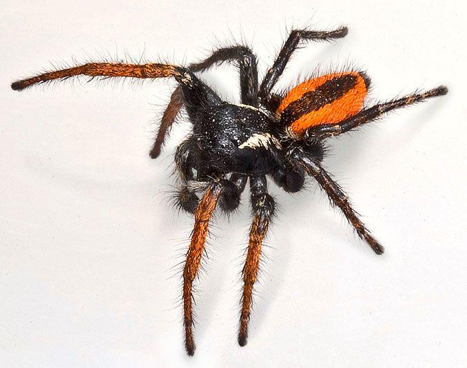 Aranha papa-moscas (Philaeus chrysops) Philae10